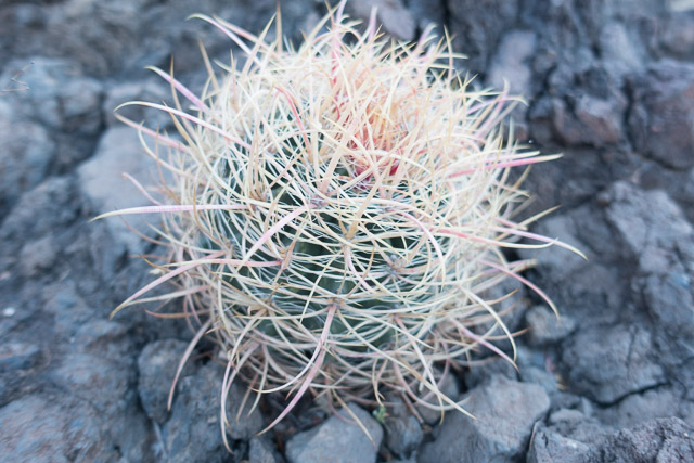 A young Barrel Cactus grabbed my attention on the descent to the river